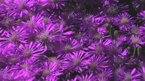 purple flower ground cover stock video 683271 hd stock