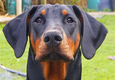 alimentazione dobermann dobermann carattere e informazioni sulla razza canina