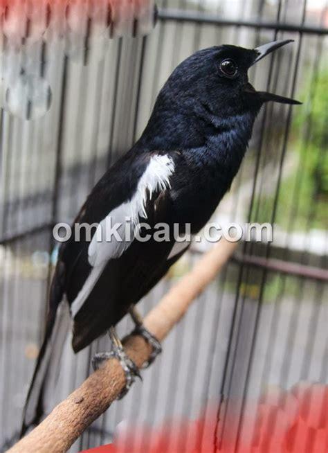 foto foto kacer jawara  indonesia burungmastercom