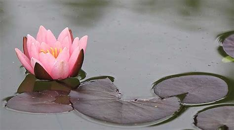 fior di loto fiore di loto come coltivarlo al meglio fai da te in