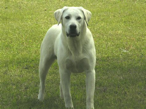 white lab puppies labrador white puppy images