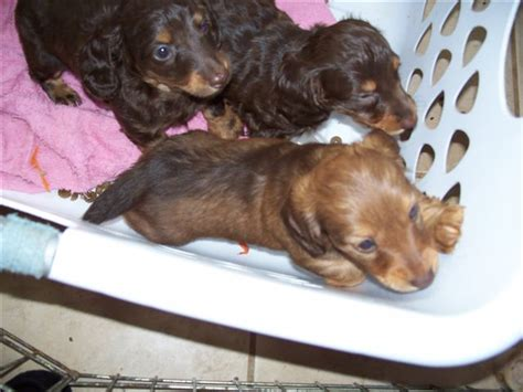 dachshund puppies for sale in oregon miniature haired dachshund for sale in oregon dogs in our photo