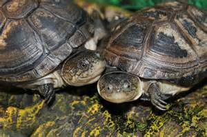 african sideneck aquatic turtles look at those smiles