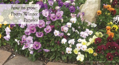 Winter Flowers For The Garden How To Grow Pretty Winter Pansy Flowers For Winter Gardens About The Garden Magazine