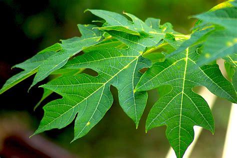 Obat Kulit Herbal Cap Pagoda 6 obat herbal ambeien yang ada di sekitar kita