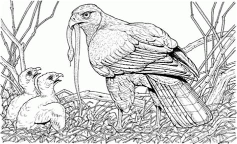 coloring page of an eagle s nest coloring pages bald eagles 604713 171 coloring pages for