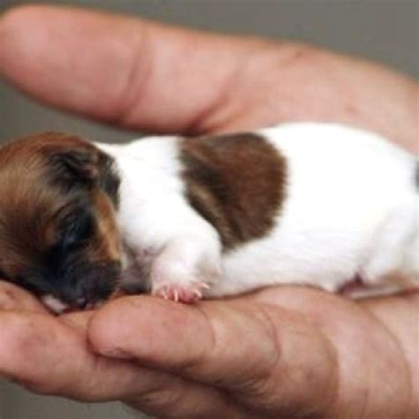 cutest baby puppies in the world smallest cutest in the world i think so cuteness puppys so