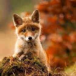 funny quotes baby fox quotesgram