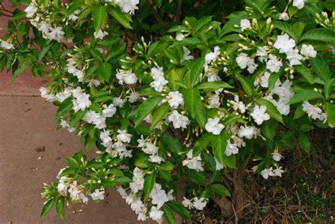 Fragrant Jasmine Plants - crape jasmine evergreen flowering bush for lawns amp gardens