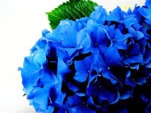 a deep blue hydrangea flickr photo sharing