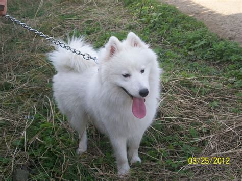 samoyed for sale samoyed for sale dundee angus pets4homes