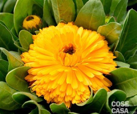 fiore calendula calendula officinalis calendula a fiori doppi cose di casa