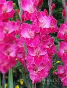 White Flowered Perennials - fairytale pink gladiolus