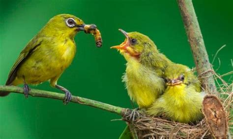 Makanan Burung Pleci Aikguan 3 jenis makanan jalak suren yang paling manfaat
