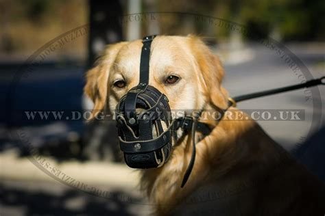 golden retriever muzzle golden retriever muzzle size dogs our friends photo