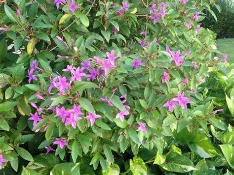 purple flowering shrubs in florida purple flowering shrub id