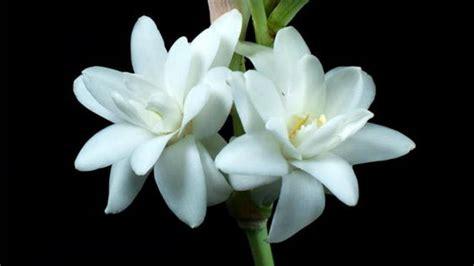 imagenes de flores nardos c 243 mo y cu 225 ndo plantar nardos mi jard 237 n