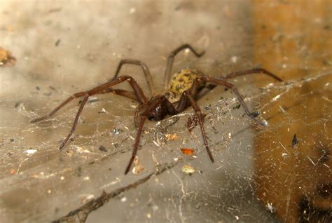 Spiders In House by House Spider Tegenaria Gigantea Nen Gallery