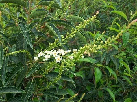 fiori da siepe prunus lusitanica lauro portogallo arbusti