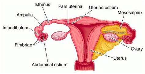 diagram of fallopian and uterus diagram of the fallopian ob gyn ultrasound 101 mod