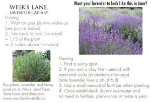 tips for growing lavender in your garden weir s lane