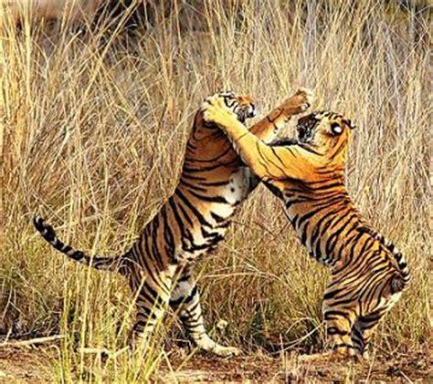 imagenes de leones y tigres peleando excelente pelea de tigres videos de animales