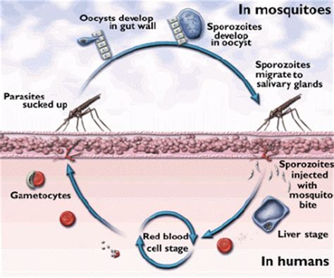pathophysiology of malaria diagram malaria types of malaria its cycle signs and