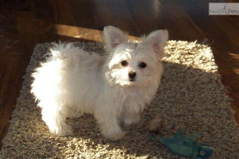 shih tzu puppies for sale in california cheap shih tzu puppies for sale in ohio cheap breeds picture