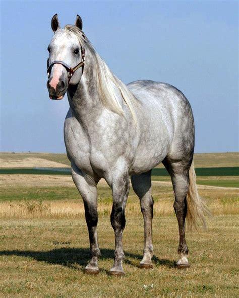 quarter horse grey