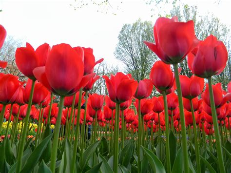 wallpaper gambar bunga tulip gambar taman bunga tulip merah kumpulan gambar gambar