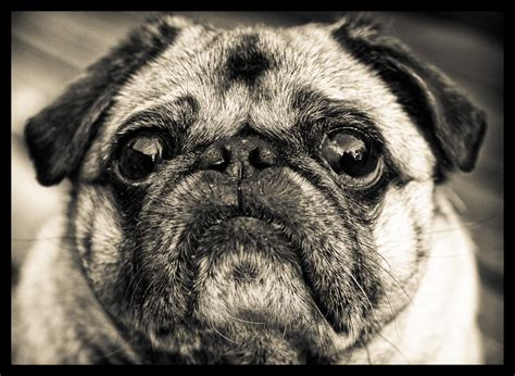 grumpy pug quot i was happy once i hated it quot grumpy pug by garry dpchallenge