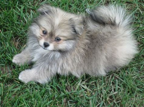 pomeranian husky for sale australia pomeranian breed