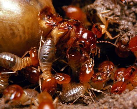 The Amazing Termite by Amazing Microsocieties Ants Vs Termites Webecoist