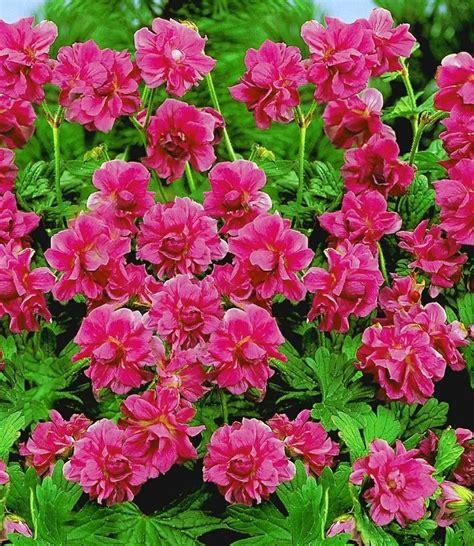 baldur garten 1000 images about hardy geraniums on canon