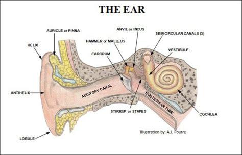 human ear diagram unlabelled images