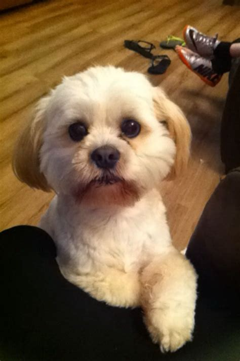 lhasa apso puppies for adoption lhasa apsos for rehoming together only selby pets4homes