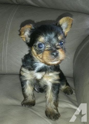 akc yorkie puppies akc yorkie puppies for sale in fremont michigan classified americanlisted