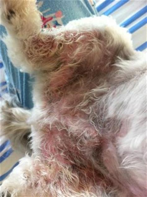 yorkie has bumps on skin spots on dogs stomach breeds picture