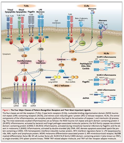 pattern recognition receptors doubling up for the innate immune response innate immunity im reference