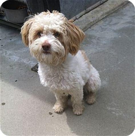 bichon shih tzu rescue eli adopted puppy encino ca bichon frise shih tzu mix