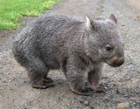 imagenes de animal wombat common wombat project noah