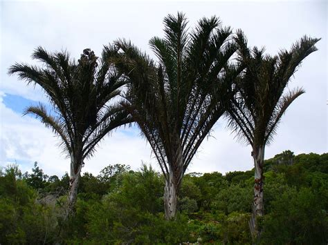 define tree raffia palm wikipedia