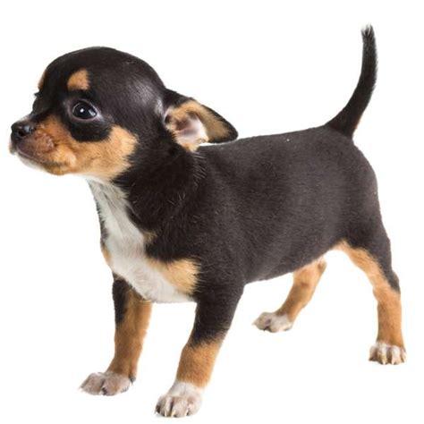 cagnolini da appartamento cani da appartemento quale razza scegliere