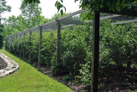 long blueberry pergola   located