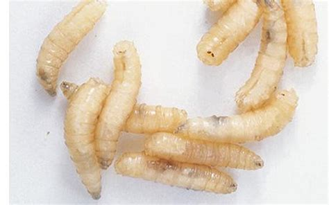 Worms In Dogs Stool That Look Like Rice by What Do Maggots Look Like Maggots