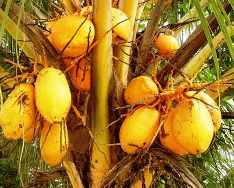 Bibit Tanaman Lengkeng Gading jual tanaman kelapa gading bibit