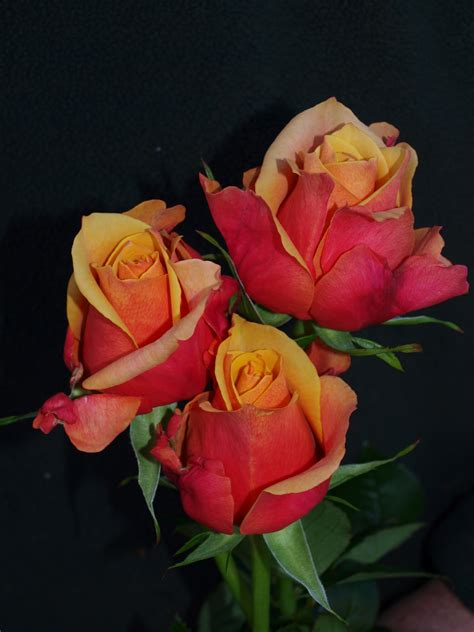 Invicto Ii Cherry White Orange roses cherry australian roses