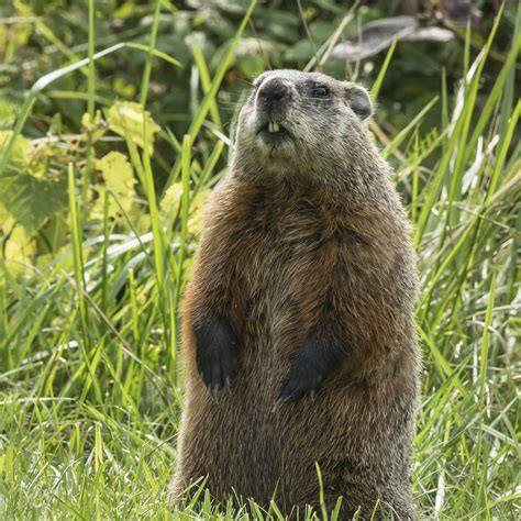 groundhog day history groundhog standing on ground