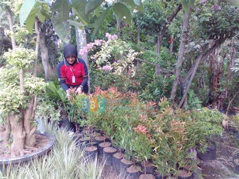 tanaman hias pucuk merah   digemari