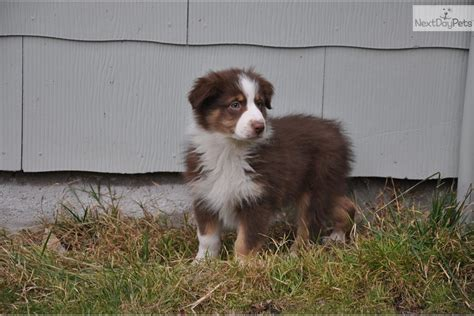buy puppies near me australian shepherd puppies for sale near me breeds picture